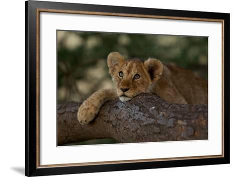A Lion Cub Rests on a Tree Branch in Serengeti National Park-Michael Nichols-Framed Art Print