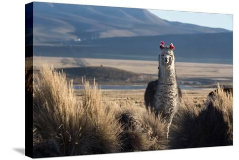 A Portrait of a Large Llama in Sajama National Park, Bolivia-Alex Saberi-Stretched Canvas Print