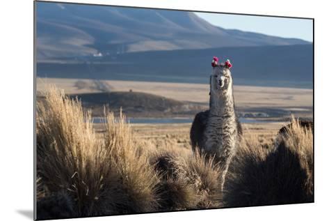 A Portrait of a Large Llama in Sajama National Park, Bolivia-Alex Saberi-Mounted Photographic Print