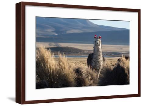 A Portrait of a Large Llama in Sajama National Park, Bolivia-Alex Saberi-Framed Art Print