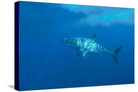 Portrait of a Female Great White Shark, Carcharodon Carcharias, Swimming in Dappled Sunlight-Jeff Wildermuth-Stretched Canvas Print