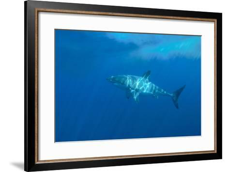Portrait of a Female Great White Shark, Carcharodon Carcharias, Swimming in Dappled Sunlight-Jeff Wildermuth-Framed Art Print