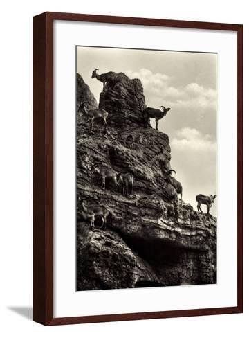 Hamburg Eimsb?ttel Stellingen, Hagenbecks Tierpark, M?hnenschafe--Framed Art Print