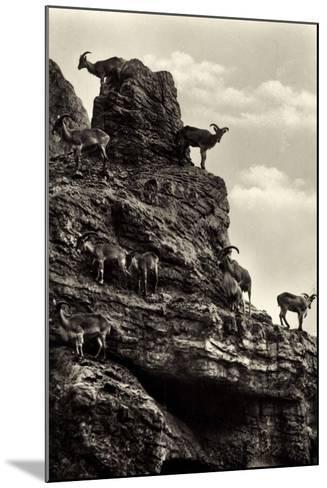 Hamburg Eimsb?ttel Stellingen, Hagenbecks Tierpark, M?hnenschafe--Mounted Giclee Print