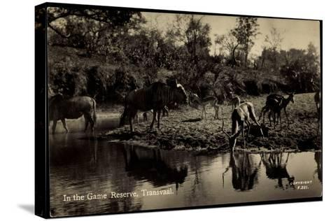 Transvaal Südafrika, in the Game Reserve, Herde Am Ufer--Stretched Canvas Print