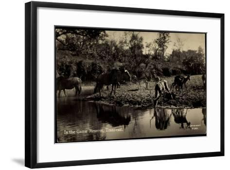Transvaal Südafrika, in the Game Reserve, Herde Am Ufer--Framed Art Print