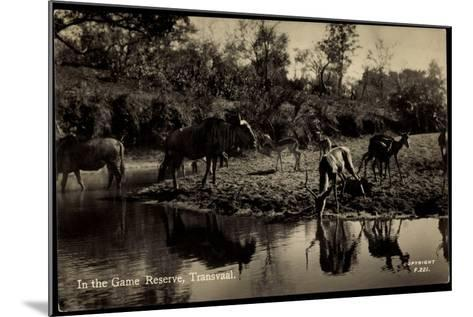 Transvaal Südafrika, in the Game Reserve, Herde Am Ufer--Mounted Giclee Print