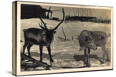 Rentier, Rentier in Eisiger Kälte, Rensdyr, Hirschgeweih--Stretched Canvas Print