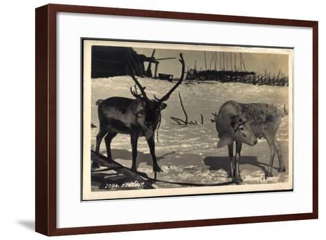 Rentier, Rentier in Eisiger Kälte, Rensdyr, Hirschgeweih--Framed Art Print