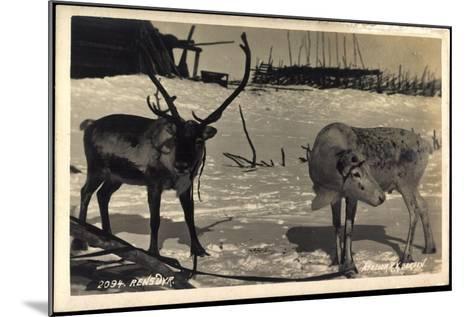 Rentier, Rentier in Eisiger Kälte, Rensdyr, Hirschgeweih--Mounted Giclee Print