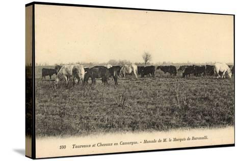 Camargue Vosges, Taureax Et Chevaux, Manade De M. Le Marquis De Baroncelli--Stretched Canvas Print