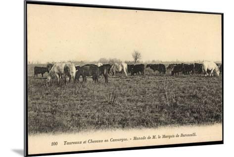 Camargue Vosges, Taureax Et Chevaux, Manade De M. Le Marquis De Baroncelli--Mounted Giclee Print