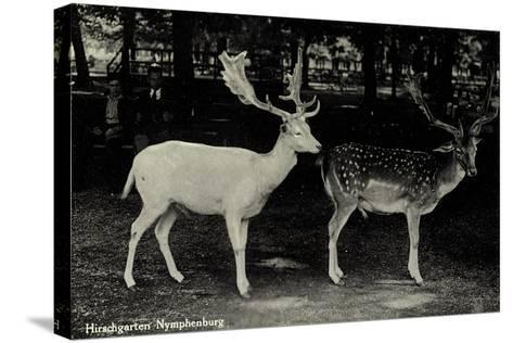 München Bayern, Partie Im Hirschgarten Der Nymphenburg, Hirsche--Stretched Canvas Print