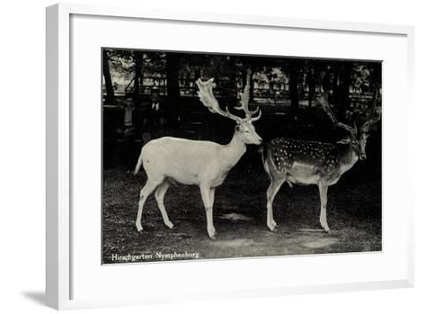 München Bayern, Partie Im Hirschgarten Der Nymphenburg, Hirsche--Framed Art Print