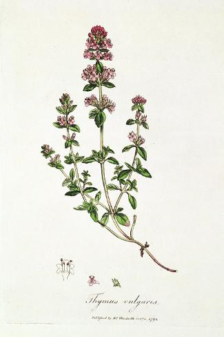 Thyme: Thymus Vulgarus, Published by Dr. Woodville, 1791--Stretched Canvas Print
