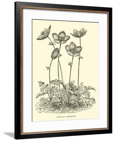 Scarlet Anemone--Framed Art Print
