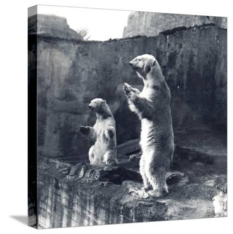 Two Polar Bears Standing Up-Frederick William Bond-Stretched Canvas Print