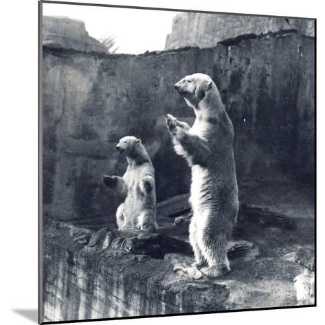 Two Polar Bears Standing Up-Frederick William Bond-Mounted Photographic Print