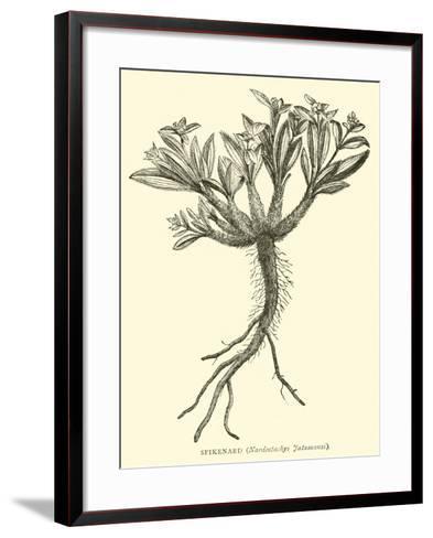 Spikenard, Nardostachys Jatamansi--Framed Art Print