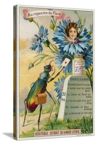 Cornflower and Beetle--Stretched Canvas Print