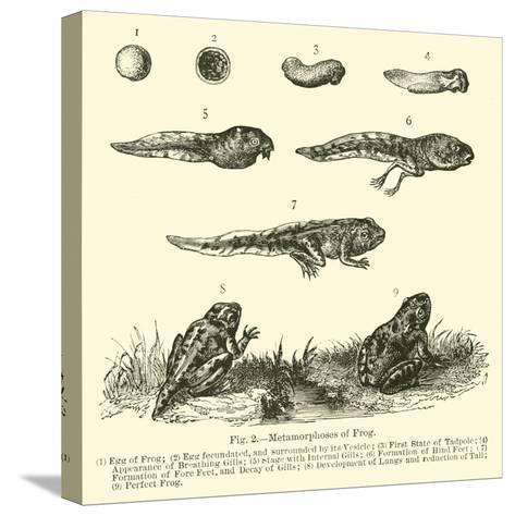 Metamorphoses of Frog--Stretched Canvas Print