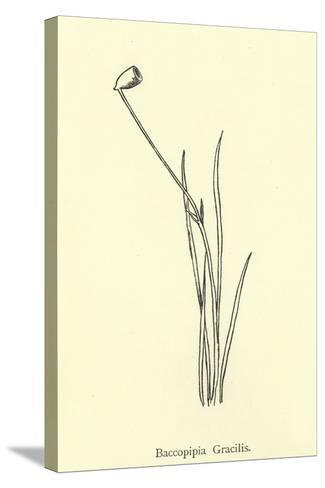 Baccopipia Gracilis-Edward Lear-Stretched Canvas Print