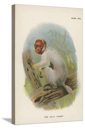 The Bald Uakari--Stretched Canvas Print