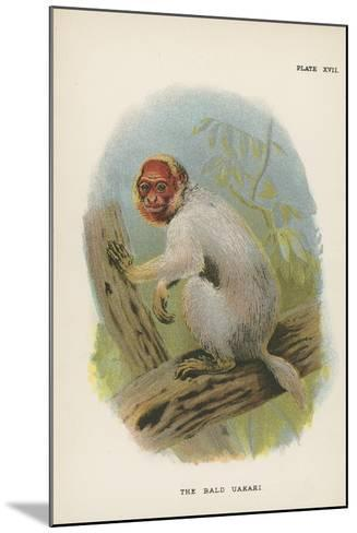 The Bald Uakari--Mounted Giclee Print
