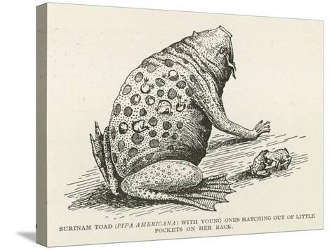 Surinam Toad--Stretched Canvas Print
