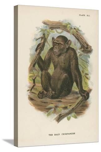 The Blad Chimpanzee--Stretched Canvas Print