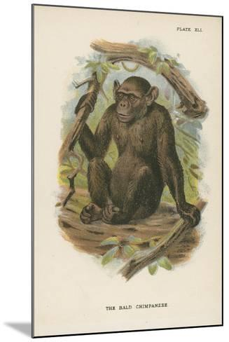The Blad Chimpanzee--Mounted Giclee Print