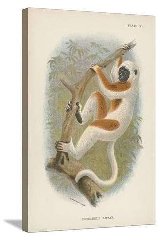 Coquerel's Sifaka--Stretched Canvas Print