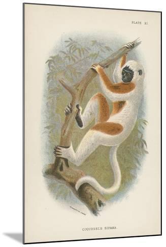 Coquerel's Sifaka--Mounted Giclee Print