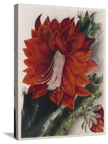 Detail of a Flowering Cactus--Stretched Canvas Print