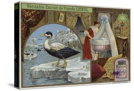 Liebig Card Featuring an Eider--Stretched Canvas Print