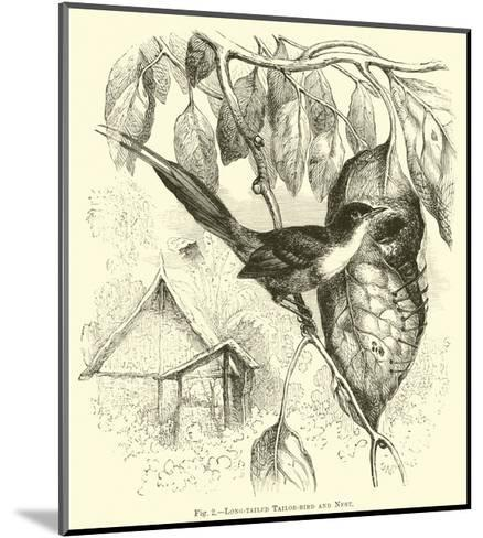 Long-Tailed Tailor-Bird and Nest--Mounted Giclee Print