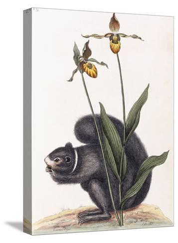 Sciurnus Niger-Mark Catesby-Stretched Canvas Print