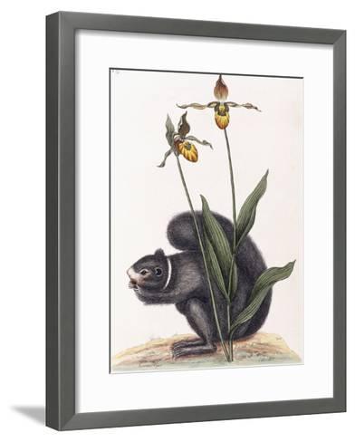 Sciurnus Niger-Mark Catesby-Framed Art Print
