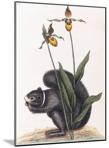 Sciurnus Niger-Mark Catesby-Mounted Giclee Print