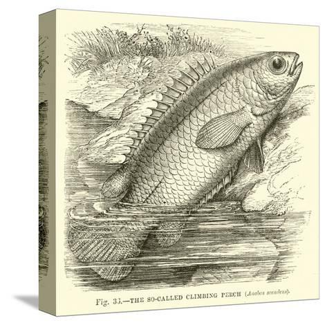 The So-Called Climbing Perch, Anabas Scandens--Stretched Canvas Print