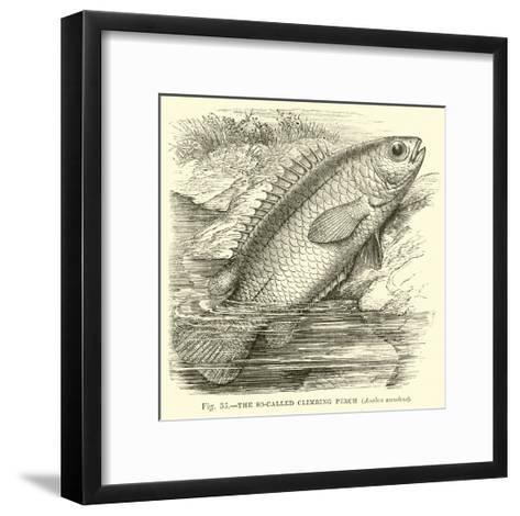 The So-Called Climbing Perch, Anabas Scandens--Framed Art Print