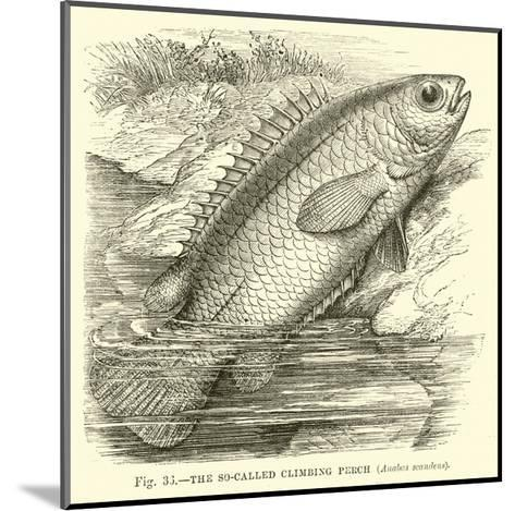 The So-Called Climbing Perch, Anabas Scandens--Mounted Giclee Print