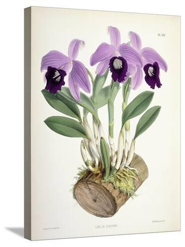 Laelia Dayana, C.1882-1897-Walter Hood Fitch-Stretched Canvas Print