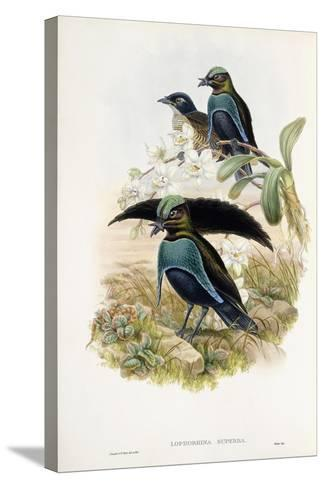 Superb Bird of Paradise--Stretched Canvas Print