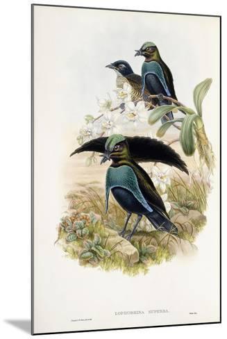 Superb Bird of Paradise--Mounted Giclee Print