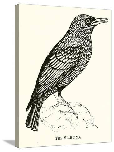 The Starling--Stretched Canvas Print