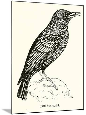 The Starling--Mounted Giclee Print