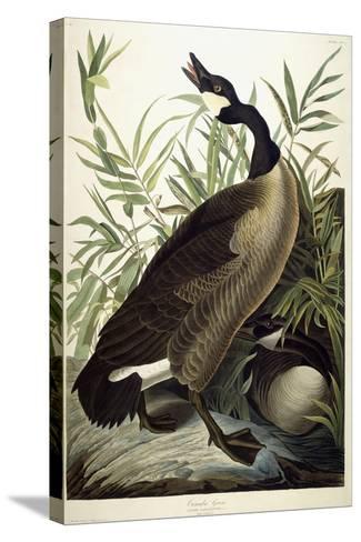 Canada Goose, C.1827-1838-John James Audubon-Stretched Canvas Print