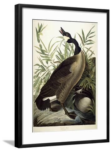 Canada Goose, C.1827-1838-John James Audubon-Framed Art Print
