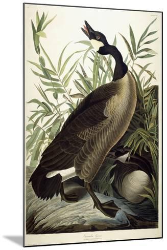 Canada Goose, C.1827-1838-John James Audubon-Mounted Giclee Print